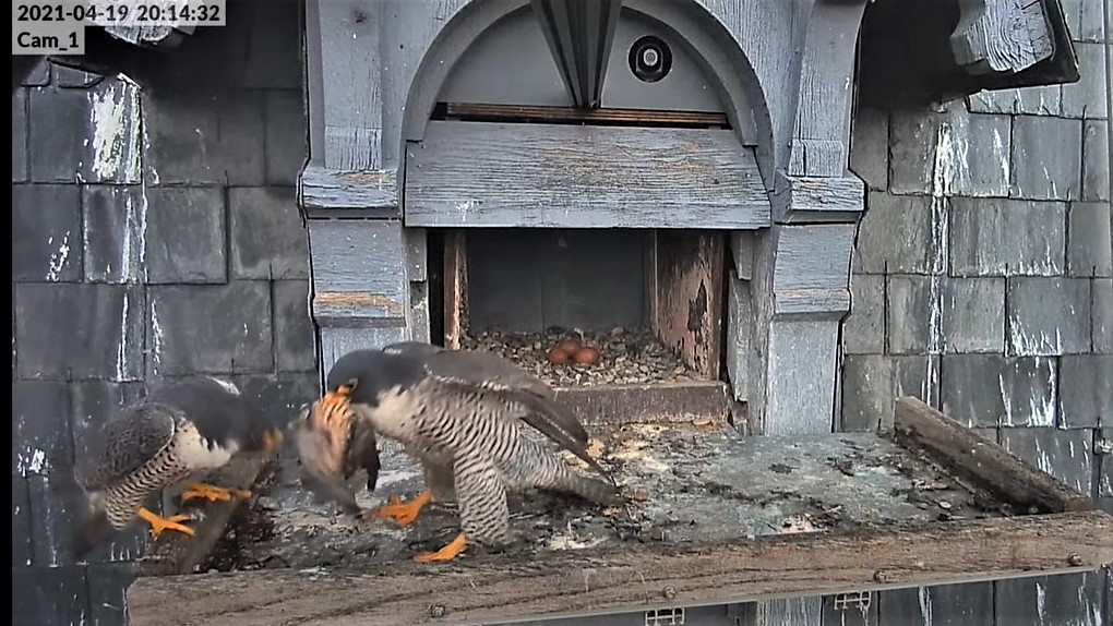 Les faucons pèlerins d'Illkirch-Graffenstaden. Lucky en Valentine. - Pagina 9 Captu272