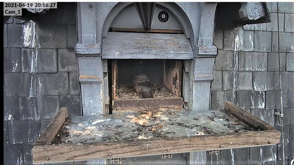 Les faucons pèlerins d'Illkirch-Graffenstaden. Lucky en Valentine. - Pagina 9 Captu277