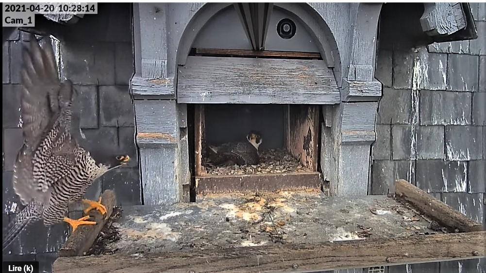 Les faucons pèlerins d'Illkirch-Graffenstaden. Lucky en Valentine. - Pagina 9 Captu279