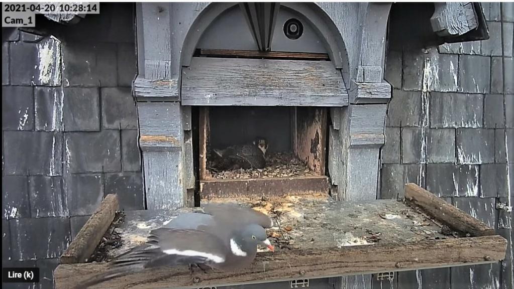 Les faucons pèlerins d'Illkirch-Graffenstaden. Lucky en Valentine. - Pagina 9 Captu281