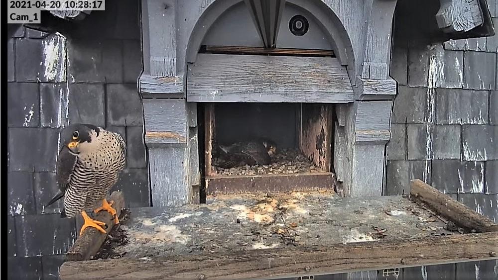 Les faucons pèlerins d'Illkirch-Graffenstaden. Lucky en Valentine. - Pagina 9 Captu282