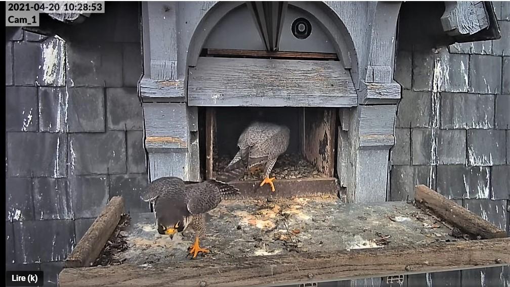 Les faucons pèlerins d'Illkirch-Graffenstaden. Lucky en Valentine. - Pagina 9 Captu283