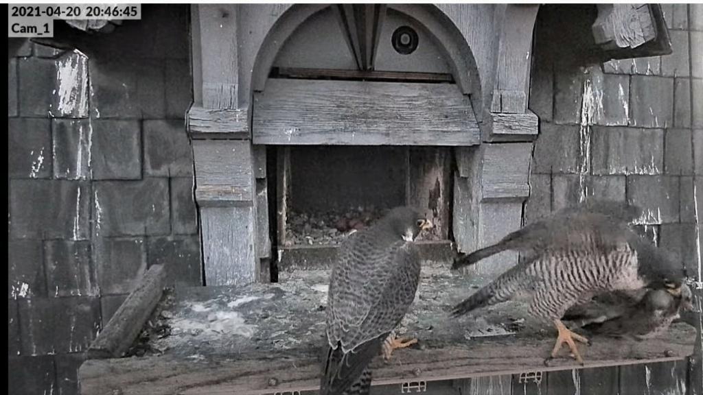Les faucons pèlerins d'Illkirch-Graffenstaden. Lucky en Valentine. - Pagina 9 Captu290