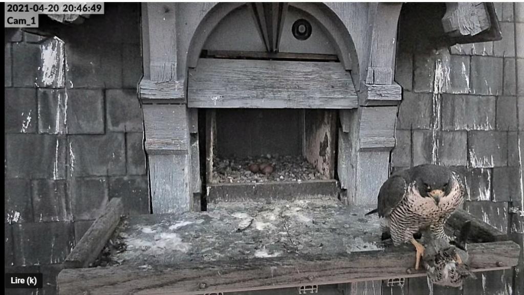 Les faucons pèlerins d'Illkirch-Graffenstaden. Lucky en Valentine. - Pagina 9 Captu291
