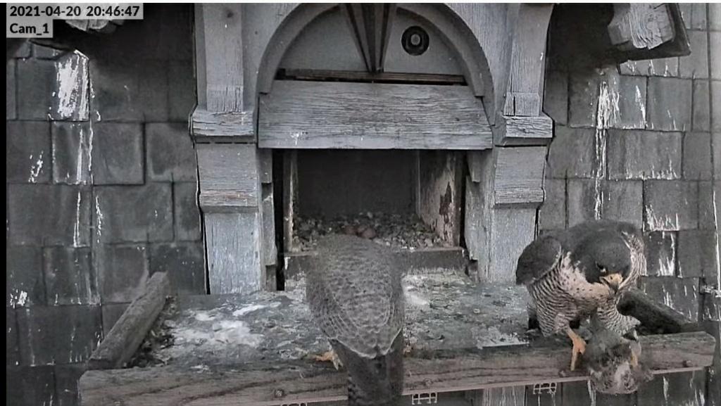 Les faucons pèlerins d'Illkirch-Graffenstaden. Lucky en Valentine. - Pagina 9 Captu292