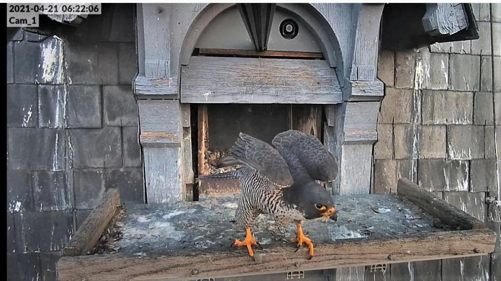 Les faucons pèlerins d'Illkirch-Graffenstaden. Lucky en Valentine. - Pagina 9 Captu296