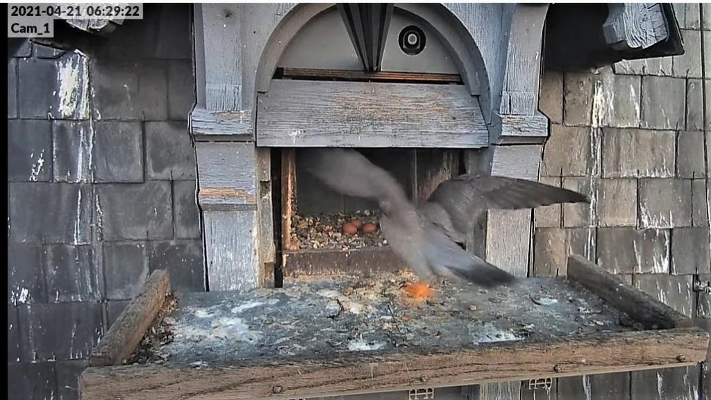 Les faucons pèlerins d'Illkirch-Graffenstaden. Lucky en Valentine. - Pagina 9 Captu297