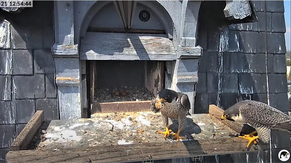 Les faucons pèlerins d'Illkirch-Graffenstaden. Lucky en Valentine. - Pagina 10 Captu300