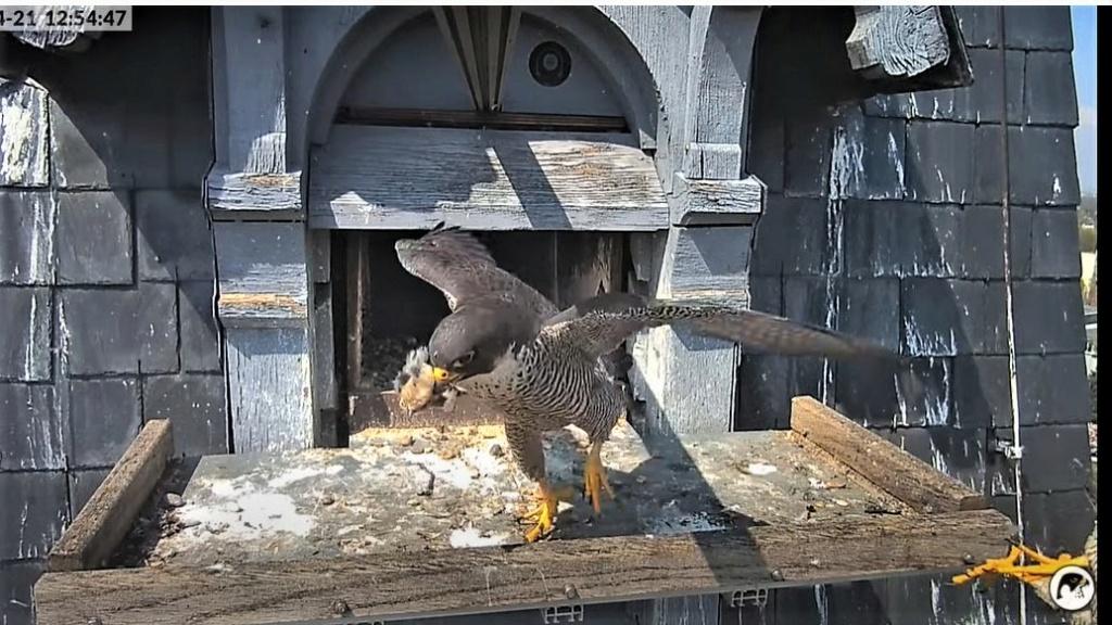 Les faucons pèlerins d'Illkirch-Graffenstaden. Lucky en Valentine. - Pagina 10 Captu301