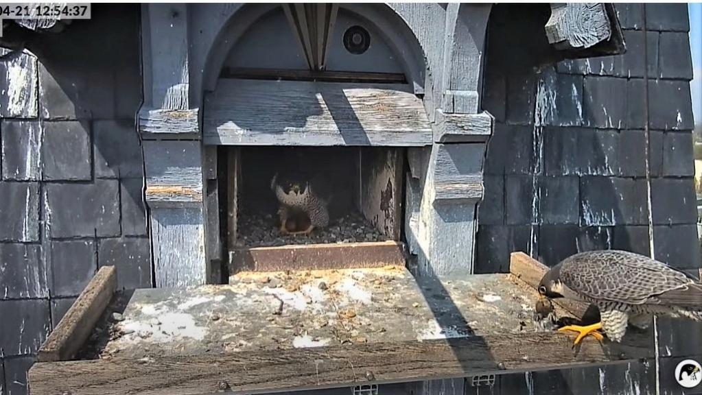 Les faucons pèlerins d'Illkirch-Graffenstaden. Lucky en Valentine. - Pagina 10 Captu302