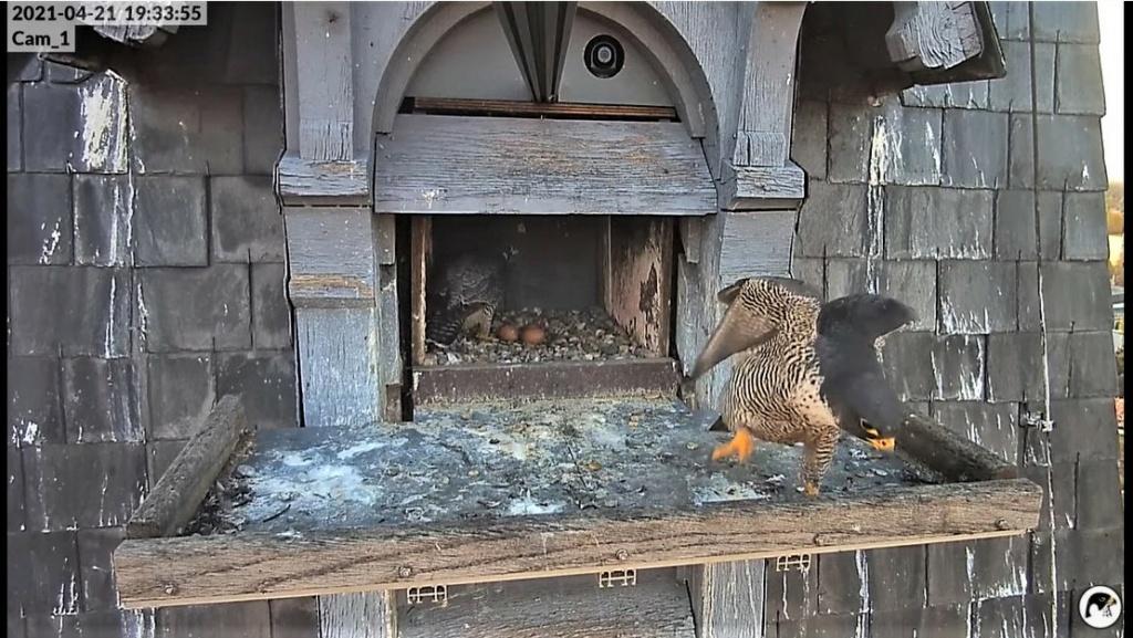 Les faucons pèlerins d'Illkirch-Graffenstaden. Lucky en Valentine. - Pagina 10 Captu304