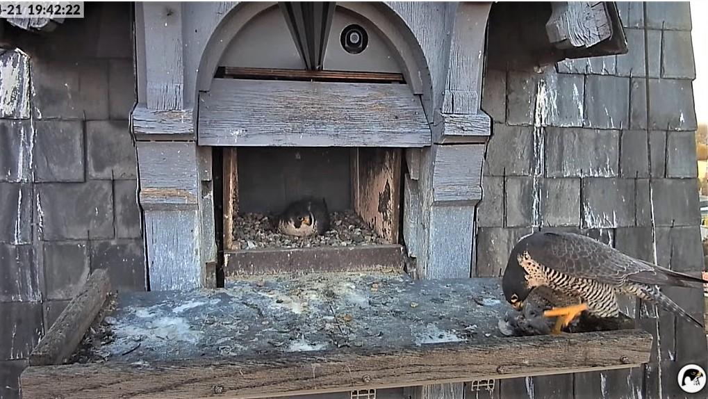 Les faucons pèlerins d'Illkirch-Graffenstaden. Lucky en Valentine. - Pagina 10 Captu306