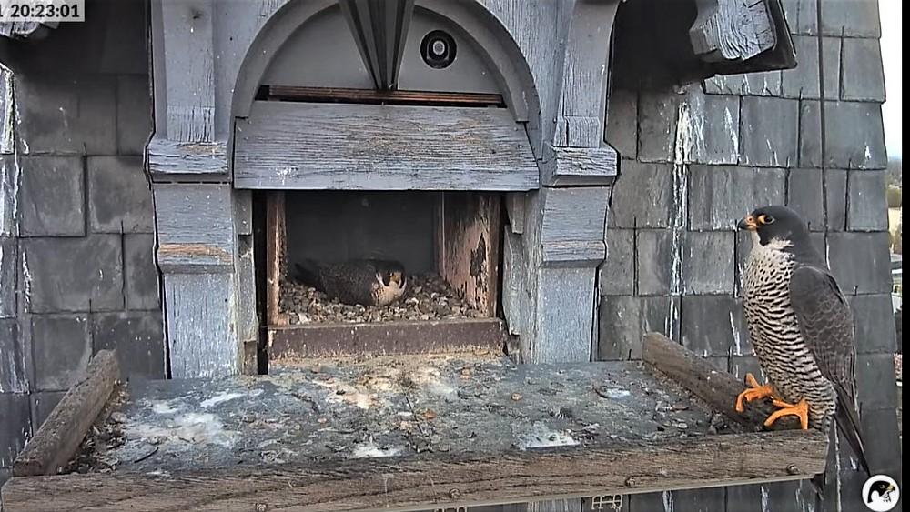 Les faucons pèlerins d'Illkirch-Graffenstaden. Lucky en Valentine. - Pagina 10 Captu308