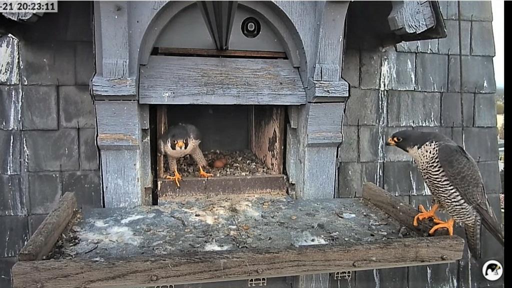 Les faucons pèlerins d'Illkirch-Graffenstaden. Lucky en Valentine. - Pagina 10 Captu309