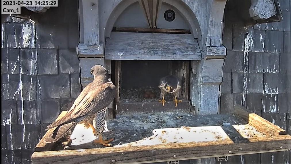 Les faucons pèlerins d'Illkirch-Graffenstaden. Lucky en Valentine. - Pagina 10 Captu313