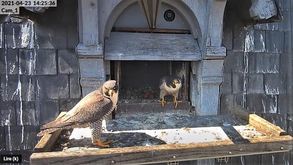Les faucons pèlerins d'Illkirch-Graffenstaden. Lucky en Valentine. - Pagina 10 Captu314