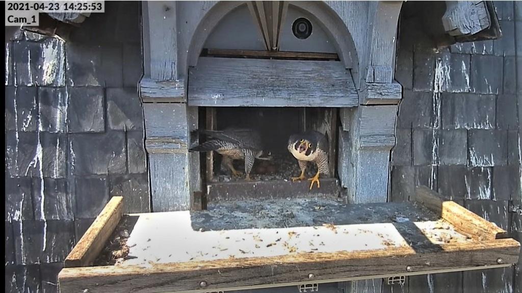 Les faucons pèlerins d'Illkirch-Graffenstaden. Lucky en Valentine. - Pagina 10 Captu316