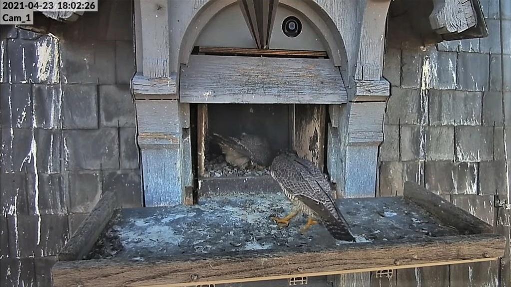 Les faucons pèlerins d'Illkirch-Graffenstaden. Lucky en Valentine. - Pagina 10 Captu317