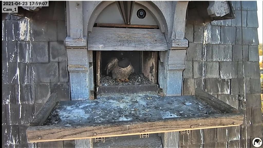 Les faucons pèlerins d'Illkirch-Graffenstaden. Lucky en Valentine. - Pagina 10 Captu318