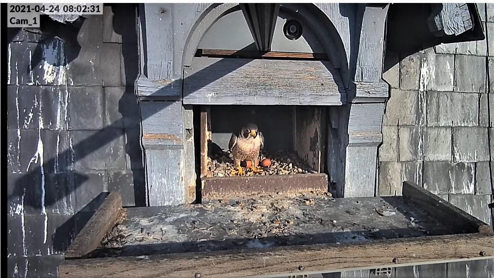Les faucons pèlerins d'Illkirch-Graffenstaden. Lucky en Valentine. - Pagina 10 Captu324