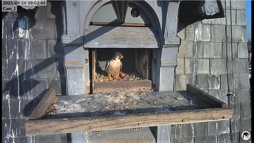 Les faucons pèlerins d'Illkirch-Graffenstaden. Lucky en Valentine. - Pagina 10 Captu327
