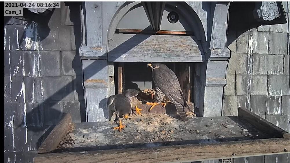 Les faucons pèlerins d'Illkirch-Graffenstaden. Lucky en Valentine. - Pagina 10 Captu328
