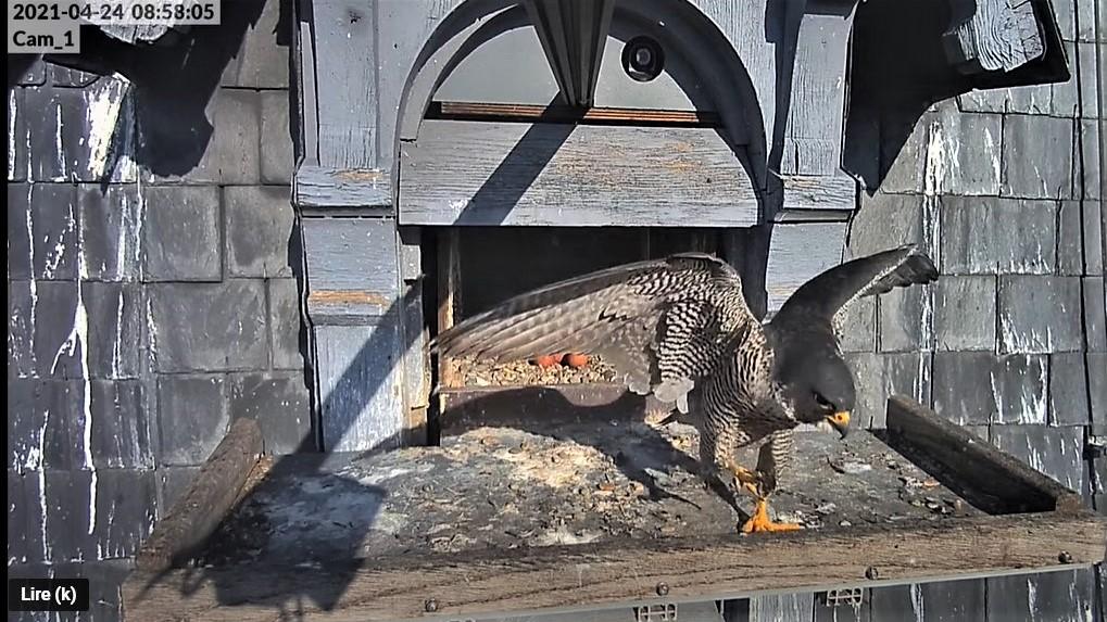 Les faucons pèlerins d'Illkirch-Graffenstaden. Lucky en Valentine. - Pagina 10 Captu329