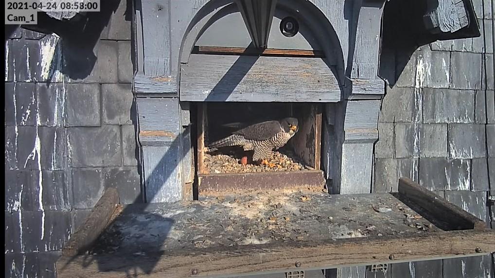 Les faucons pèlerins d'Illkirch-Graffenstaden. Lucky en Valentine. - Pagina 10 Captu330