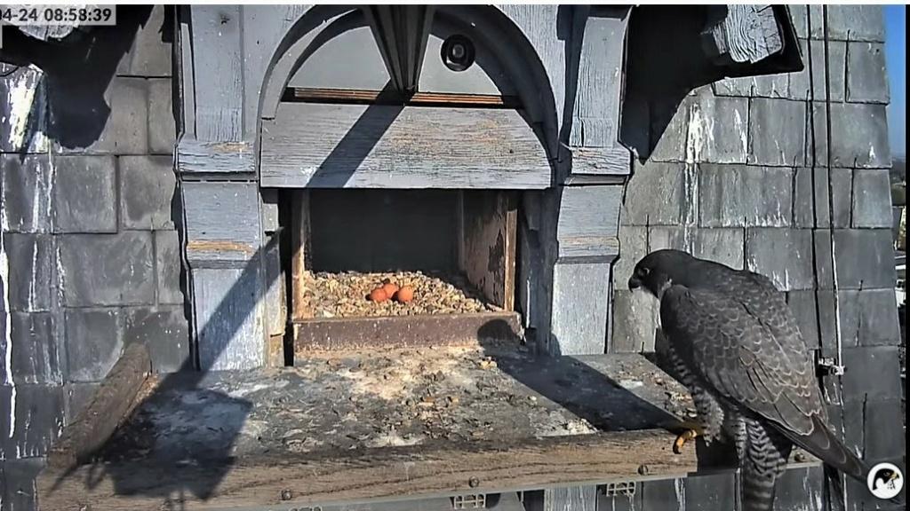 Les faucons pèlerins d'Illkirch-Graffenstaden. Lucky en Valentine. - Pagina 10 Captu331
