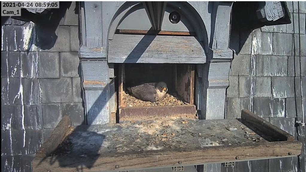 Les faucons pèlerins d'Illkirch-Graffenstaden. Lucky en Valentine. - Pagina 10 Captu333
