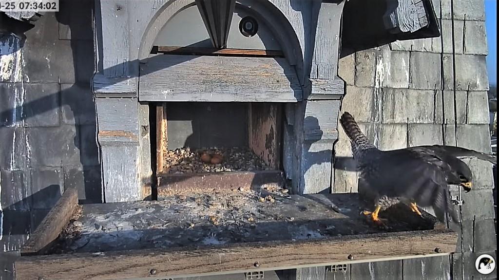 Les faucons pèlerins d'Illkirch-Graffenstaden. Lucky en Valentine. - Pagina 10 Captu336