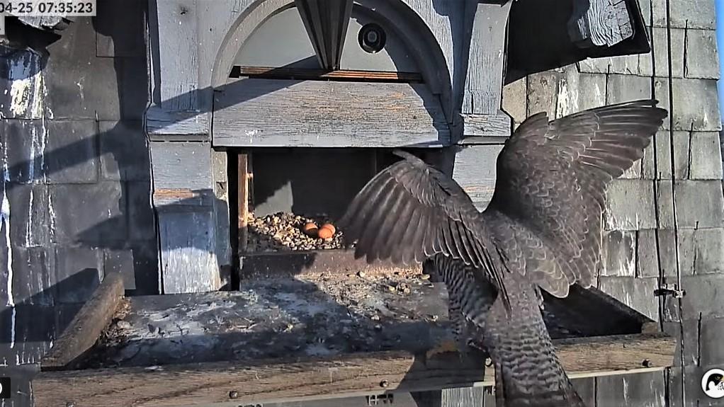 Les faucons pèlerins d'Illkirch-Graffenstaden. Lucky en Valentine. - Pagina 10 Captu337