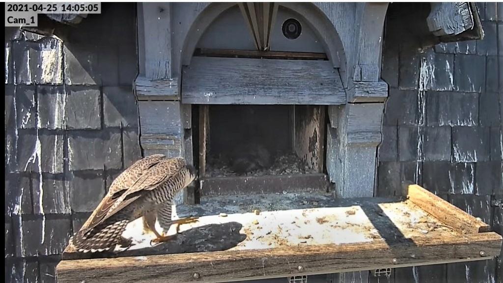 Les faucons pèlerins d'Illkirch-Graffenstaden. Lucky en Valentine. - Pagina 10 Captu340
