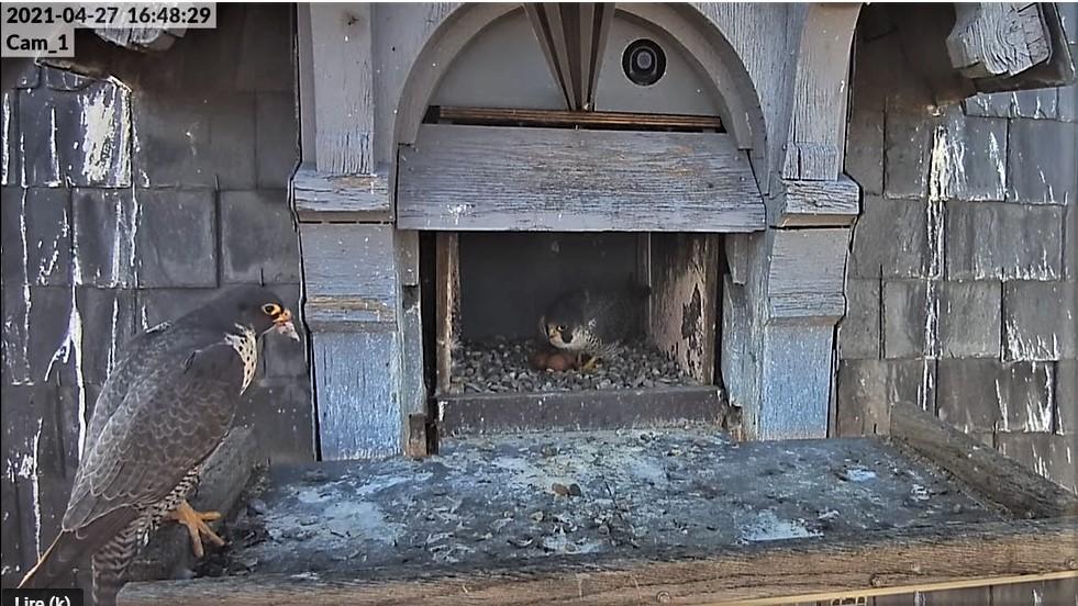 Les faucons pèlerins d'Illkirch-Graffenstaden. Lucky en Valentine. - Pagina 10 Captu350