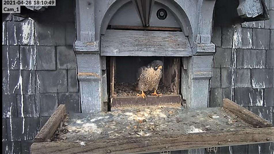 Les faucons pèlerins d'Illkirch-Graffenstaden. Lucky en Valentine. - Pagina 10 Captu351