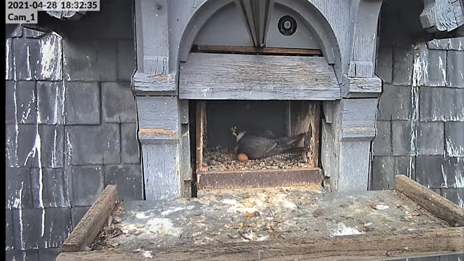 Les faucons pèlerins d'Illkirch-Graffenstaden. Lucky en Valentine. - Pagina 10 Captu353