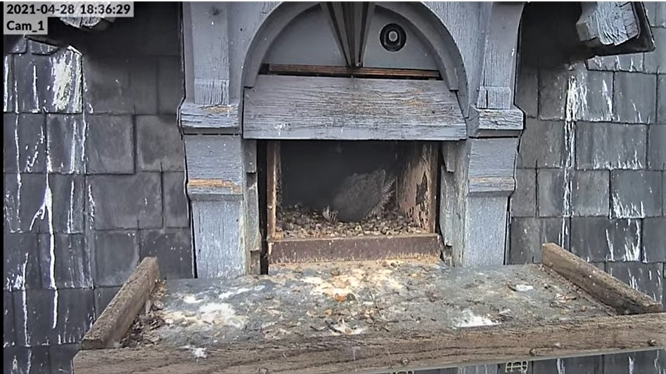 Les faucons pèlerins d'Illkirch-Graffenstaden. Lucky en Valentine. - Pagina 10 Captu356