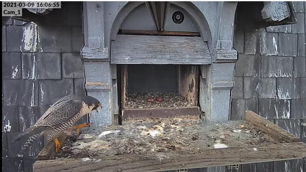 Les faucons pèlerins d'Illkirch-Graffenstaden. Lucky en Valentine. - Pagina 4 Captur13