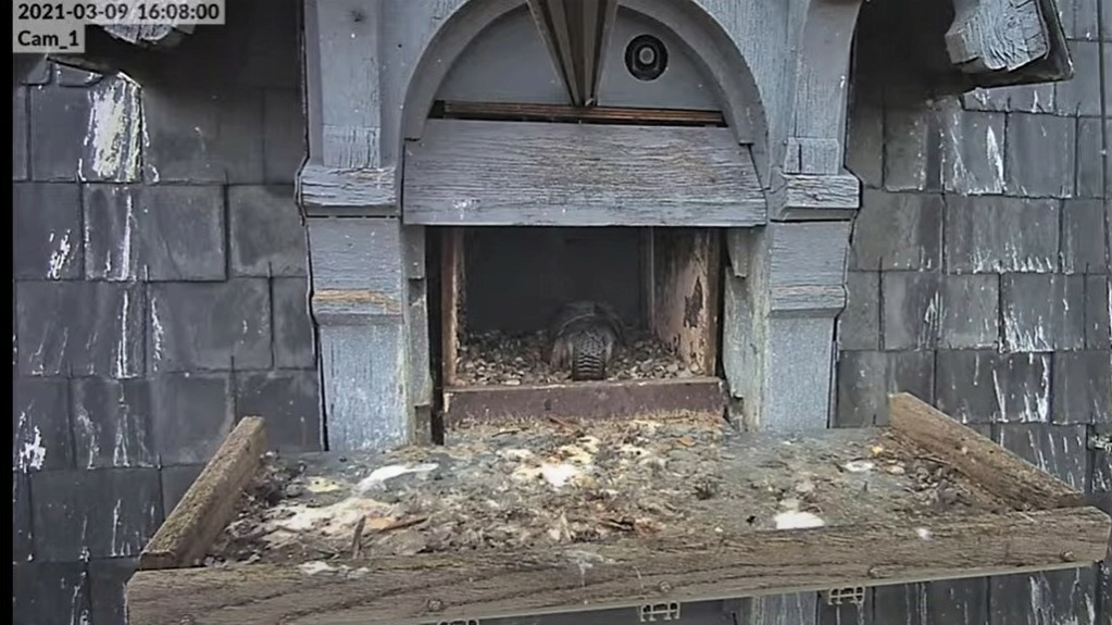 Les faucons pèlerins d'Illkirch-Graffenstaden. Lucky en Valentine. - Pagina 4 Captur14