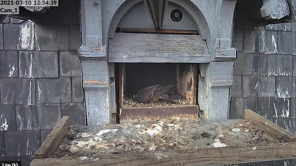 Les faucons pèlerins d'Illkirch-Graffenstaden. Lucky en Valentine. - Pagina 4 Captur15