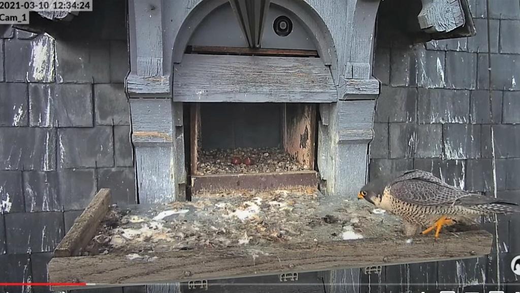 Les faucons pèlerins d'Illkirch-Graffenstaden. Lucky en Valentine. - Pagina 4 Captur16