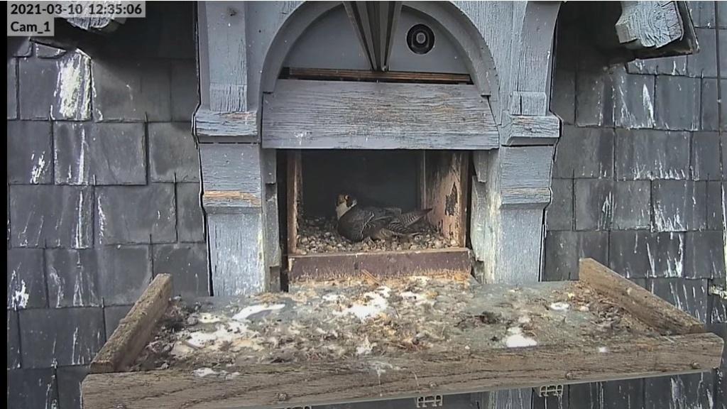 Les faucons pèlerins d'Illkirch-Graffenstaden. Lucky en Valentine. - Pagina 4 Captur17