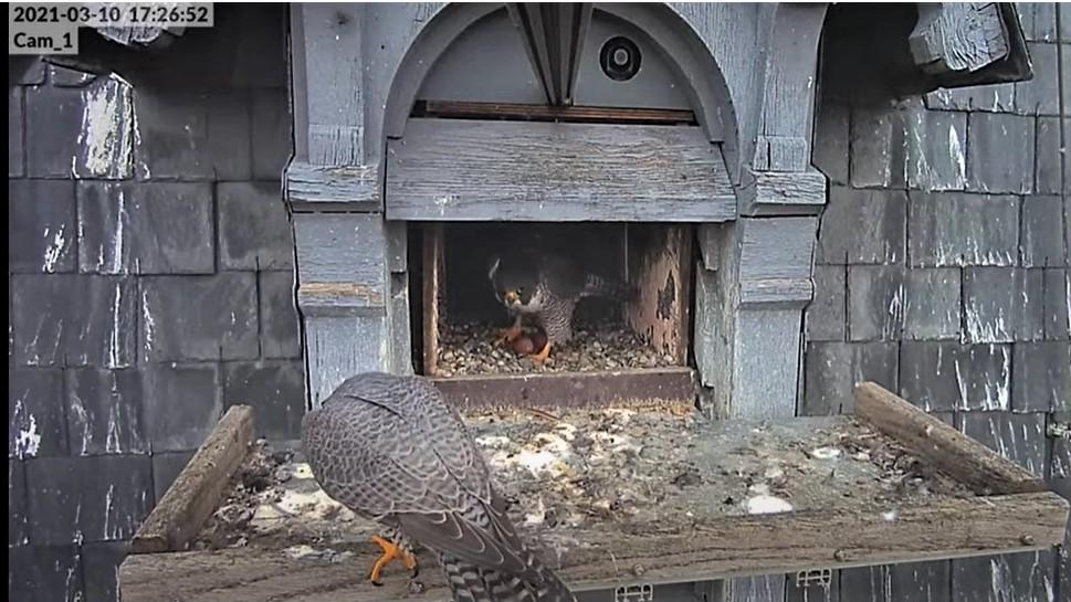 Les faucons pèlerins d'Illkirch-Graffenstaden. Lucky en Valentine. - Pagina 4 Captur18