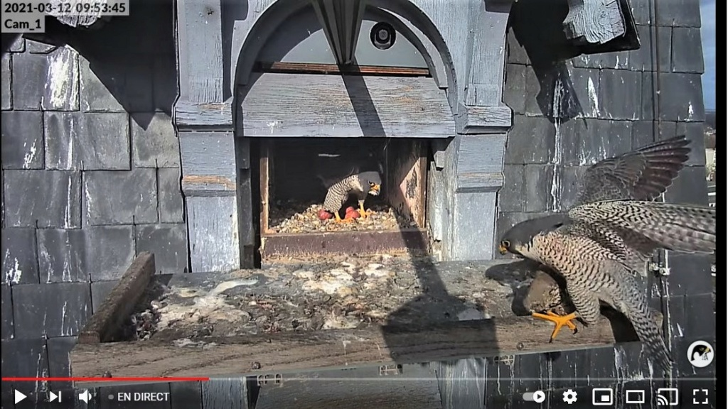 Les faucons pèlerins d'Illkirch-Graffenstaden. Lucky en Valentine. - Pagina 5 Captur22