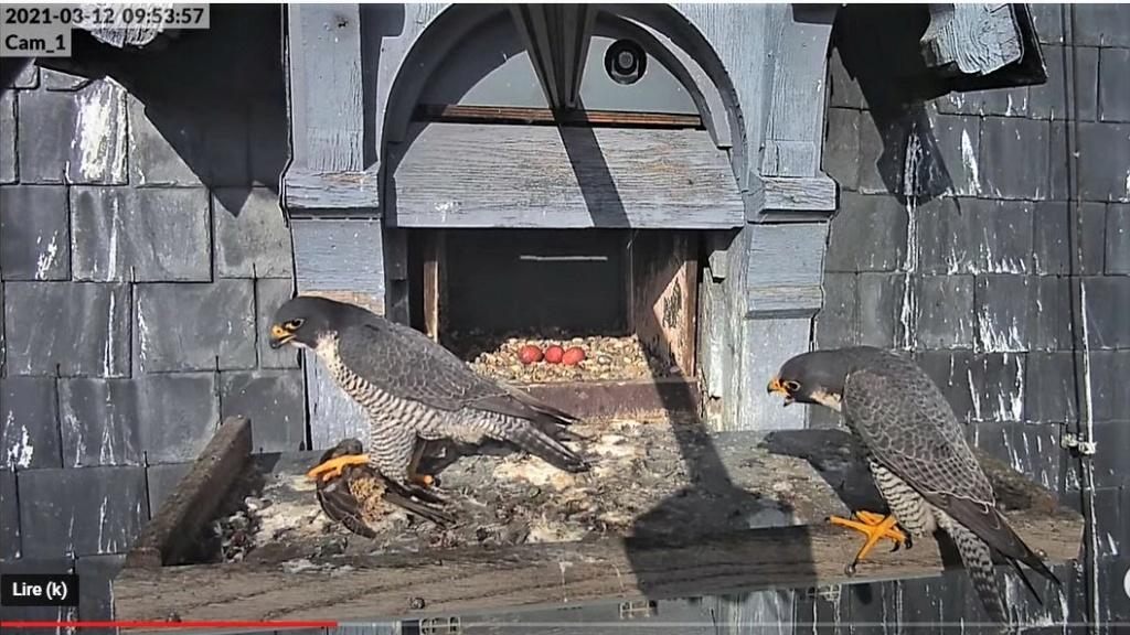 Les faucons pèlerins d'Illkirch-Graffenstaden. Lucky en Valentine. - Pagina 5 Captur28