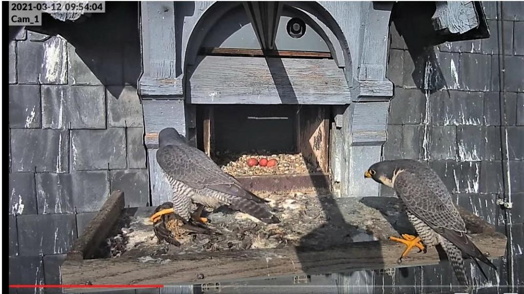 Les faucons pèlerins d'Illkirch-Graffenstaden. Lucky en Valentine. - Pagina 5 Captur30