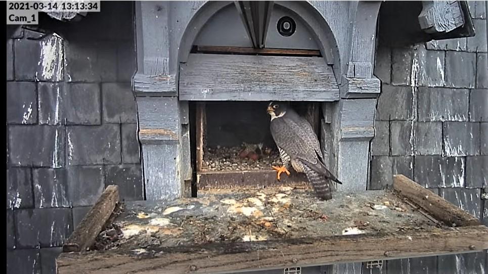 Les faucons pèlerins d'Illkirch-Graffenstaden. Lucky en Valentine. - Pagina 5 Captur38