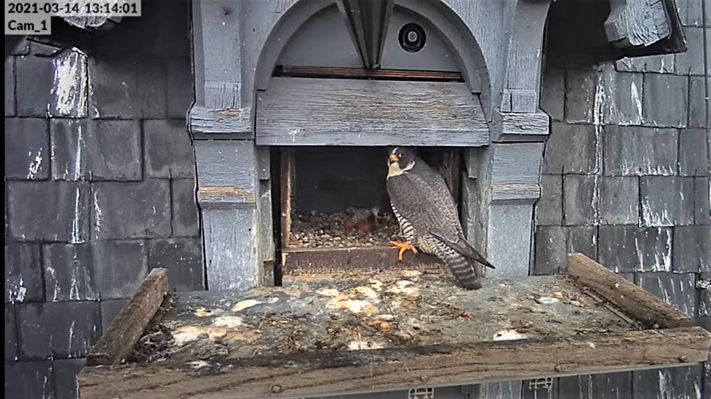 Les faucons pèlerins d'Illkirch-Graffenstaden. Lucky en Valentine. - Pagina 5 Captur40