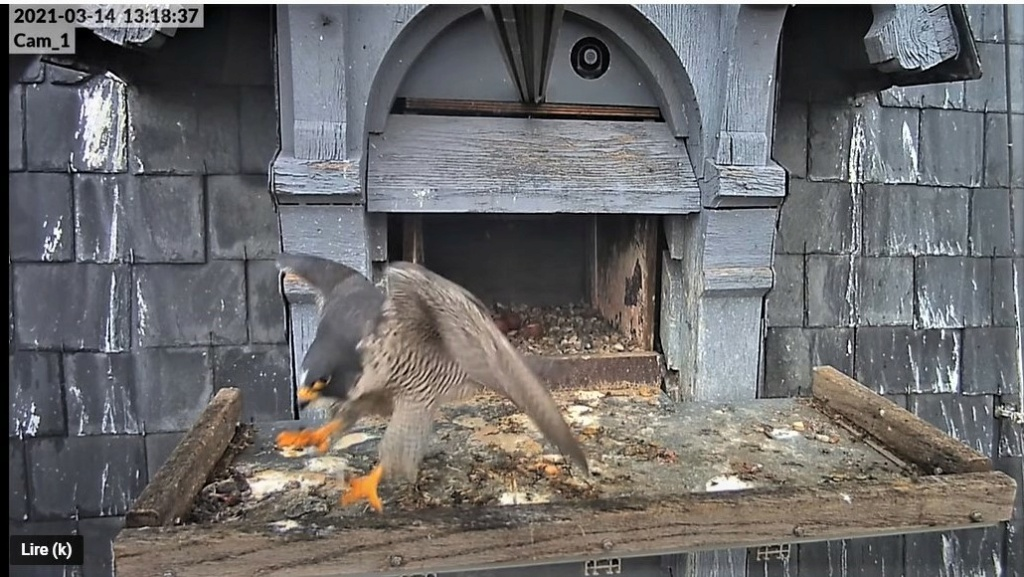 Les faucons pèlerins d'Illkirch-Graffenstaden. Lucky en Valentine. - Pagina 5 Captur43