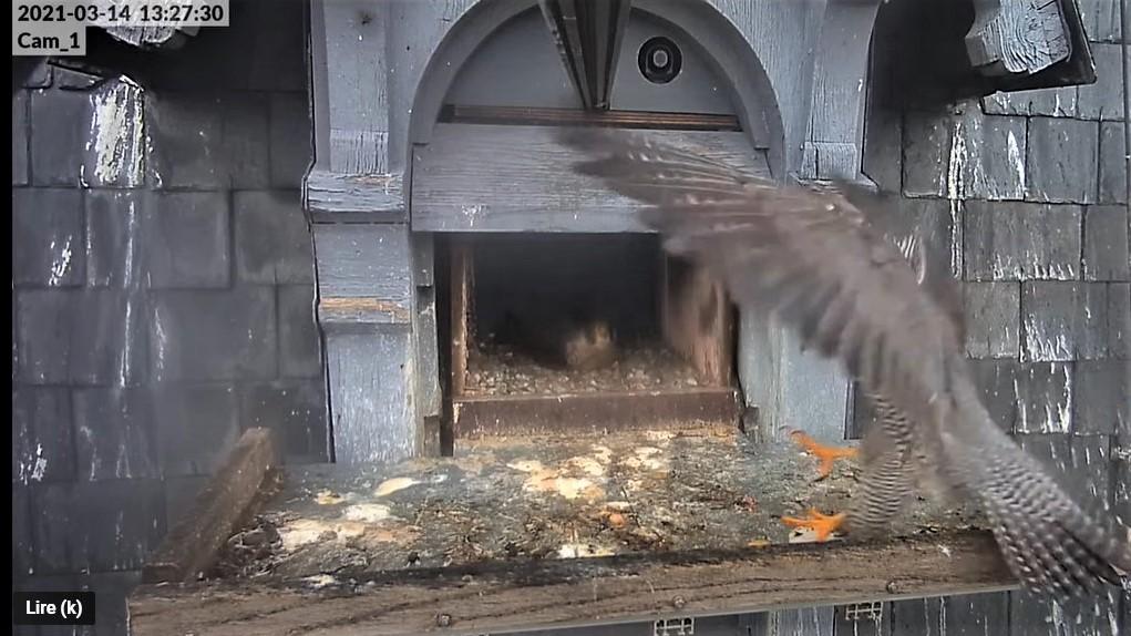 Les faucons pèlerins d'Illkirch-Graffenstaden. Lucky en Valentine. - Pagina 5 Captur46